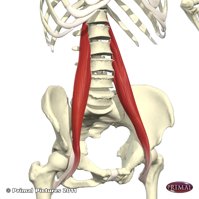the psoas the queen of compensation functional synergy